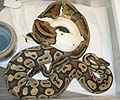 Clutch #1 Pied 2001 x Normal (Darren's CB #1 2003)