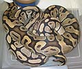 Clutch #12 High Yellow x Normal (Prolapse 2002)