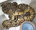 Clutch #13 Pastel Pos Het Orange Ghost x 50% Pos Het Orange Ghost