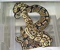 Clutch #15 Super Pastel x Normal (Darren's #7)