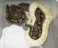 High Contrast Albino!!