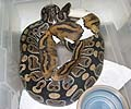 Clutch #20 Pied Male 2001 x Normal (Adult NERD)