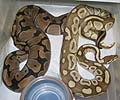 Clutch #2 Lesser 2003 x F2 Banded Female