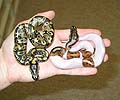 Pied Female with 100% Het Pied Female