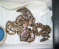 The Banded and Het Females