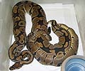 Clutch #50 F2 Banded Male 1 2004 x 100% Het Banded 1 2000