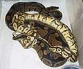 Clutch #5 Super Pastel & Lesser x Ringer Female #1 2001