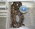 Clutch #58 F2 Banded Male 4 2004 x 100% Het Banded 3 2000