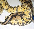 Clutch #8 SPOG x Pastel het Orange Ghost (Pastel Het Orange Ghost Female #1 2001)