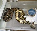 Clutch #86 Super Pastel & Lesser x Normal Female (Sib White Spot)