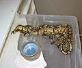 Clutch #89 Pastel Het Green Ghost 2 2004 x Pastel Het Green Ghost 2 2004)
