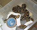 Clutch #90 Pied Male 2004 x 100% Het Pied 4 2003