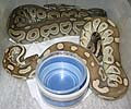 Clutch #9 Lesser x Red Axanthic (Red Axanthic Female #1 2002)