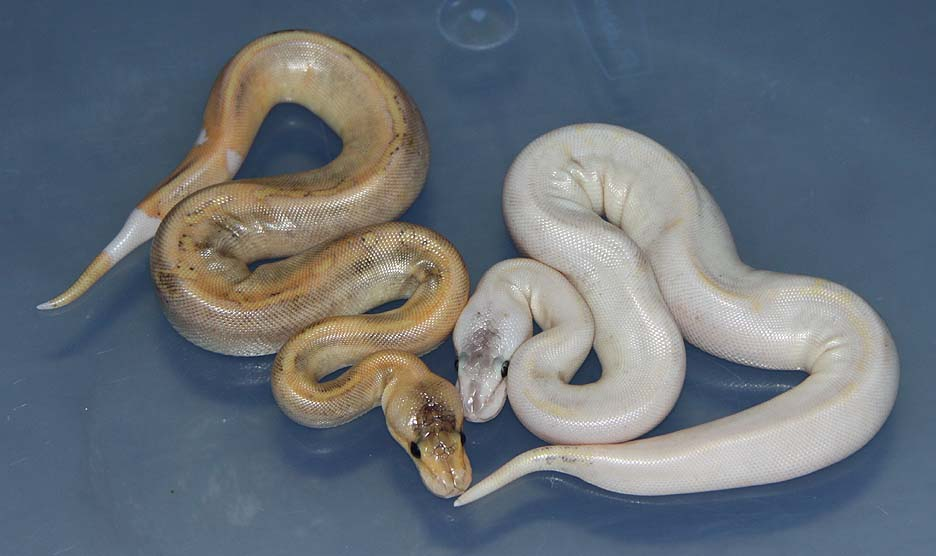 Red Axanthic Genetic Stripe Ball Python