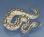 Pastel Lesser DH Green Ghost/GS