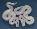 Pastel Pin Champagne Het Red Axanthic