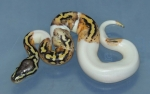 Pastel Pied Male
