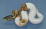 Pastel Pied Female