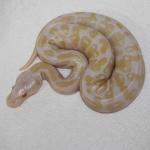 Male Pastel Albino